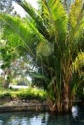pohon sagu