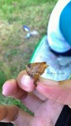 kepala belalang