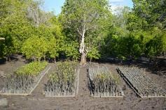 bibit mangrove